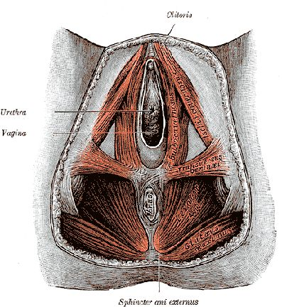 medical cross-section of female reproductive system