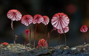 Marasmius haematocephalus pink